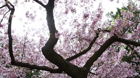 1244 Cherry Blossoms in Washington DC , Slow Motio Stock Video Footage