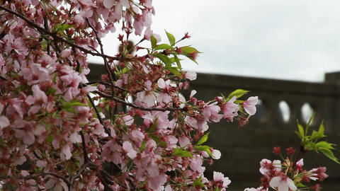 1252 Cherry Blossoms Blowing next to Bridge in Was Stock Video Footage
