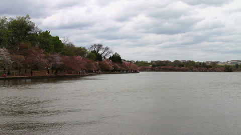 1254 Cherry Blossoms in Washington DC by Pond , Sl Stock Video Footage