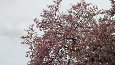 1258 Cherry Blossoms Washington Monument in DC Stock Video Footage