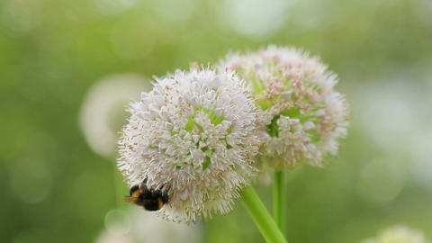 Bee on a flower of onions Stock Video Footage
