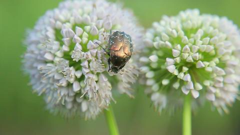 May bug eats Footage