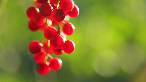 Bird cherry Stock Video Footage