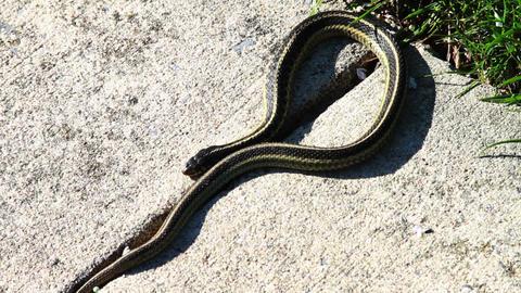 1295 Snake on Sidewalk Footage
