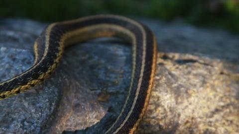 1297 Snake on Rock Footage