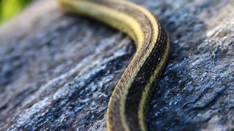 1298 Snake on Rock Footage