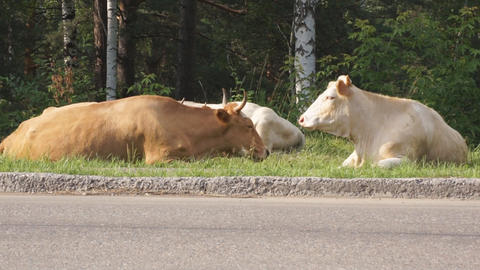 Cows on the street 03 Stock Video Footage