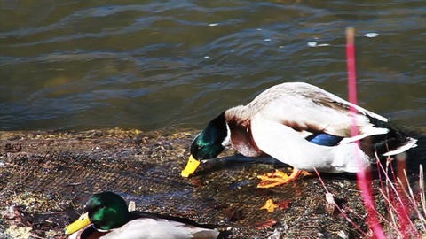 1049 Ducks by River Stock Video Footage