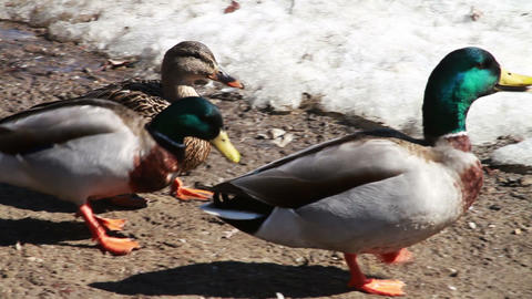 1052 Ducks walking by River and Snow Stock Video Footage