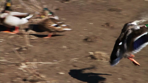 1054 Ducks Flying and Landing onto the Ground, Slo Footage
