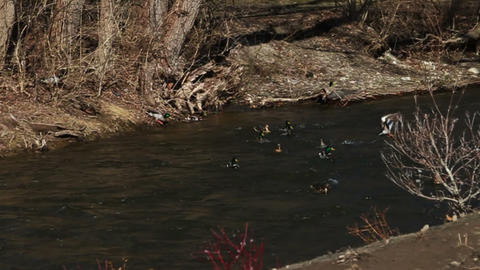 1074 Many Ducks Flying and Landing in River , Slow Footage