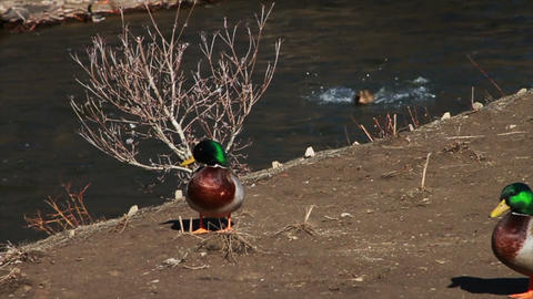1076 Ducks Flying and Landing in River , Slow Moti Footage