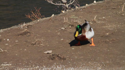 1077 Duck Flying and Landing by River , Slow Motio Footage