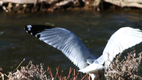 1080 Seagull by River , Slow Motion Footage