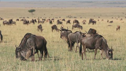 Grazing blue wildebeest Footage