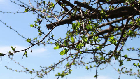 Tree Growning New Leaves, Spring is Here Stock Video Footage