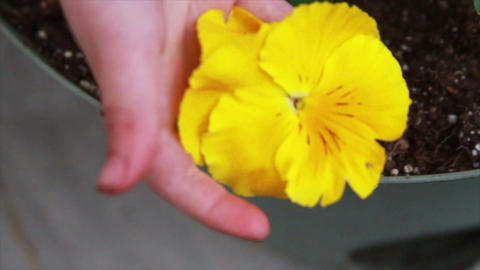 Yellow Flower being Held by Child Footage