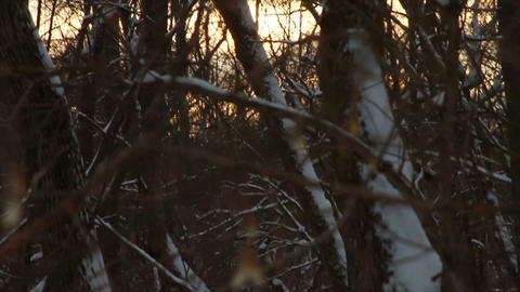 0728 Fresh Snow in the Forest and Trees at Sunset Footage