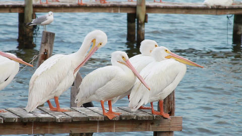 0592 White Pelican Footage