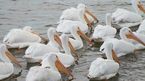 0595 White Pelican Stock Video Footage