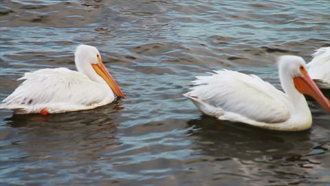 0599 White Pelican Footage