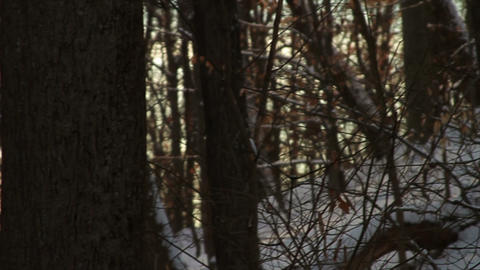 0758 Fresh Snow in the Forest and Trees at Sunset Stock Video Footage