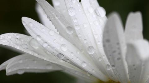Daisy petals with raindrops Footage