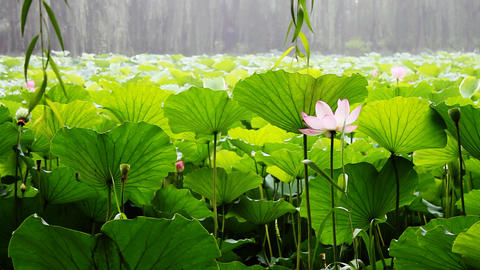 waterlily 1 Stock Video Footage
