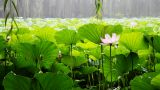 Waterlily 1 stock footage