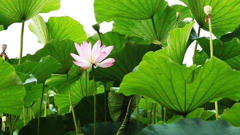 waterlily 3 Stock Video Footage