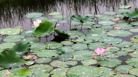 waterlily 5 Stock Video Footage