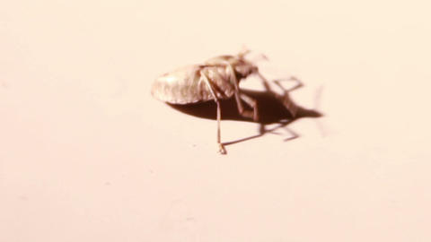 Stink Bug Trying to Get on its Feet Stock Video Footage