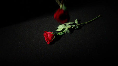 0570 Roses Falling in Slow Motion Footage