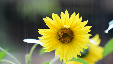 Sunflower in rain Footage