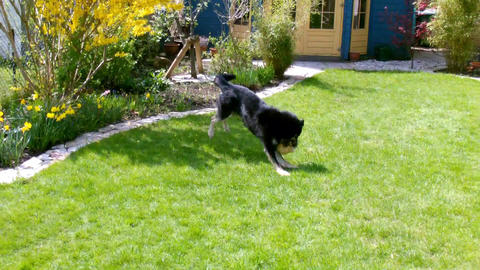 Playing Dog in a Garden Footage