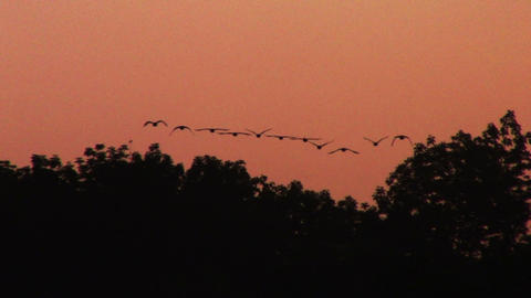 1689 Ducks Flying at Sunset Footage