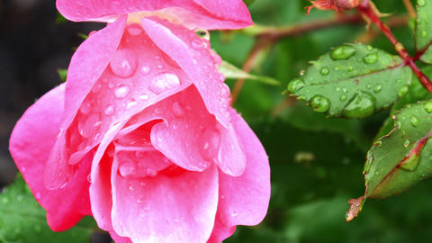 1731 Pink Rose with Water Drops, 4K Live Action