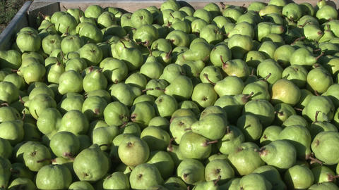 bin of green pears Stock Video Footage