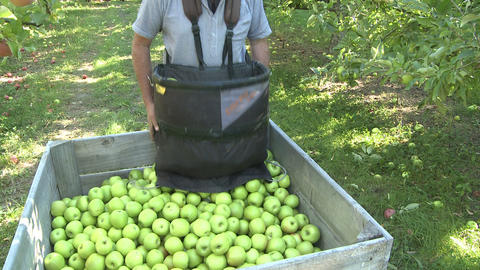 fresh picked apples in orchard Stock Video Footage