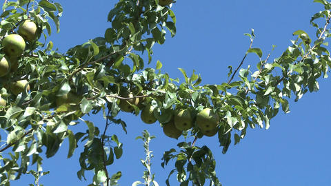 pears on tree 2 Stock Video Footage