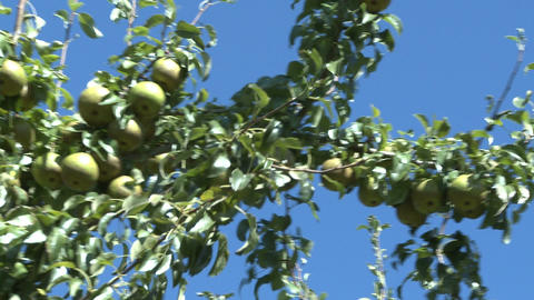 pears on tree 2 Stock Video Footage