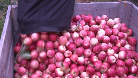 apple picker to bin closer Stock Video Footage