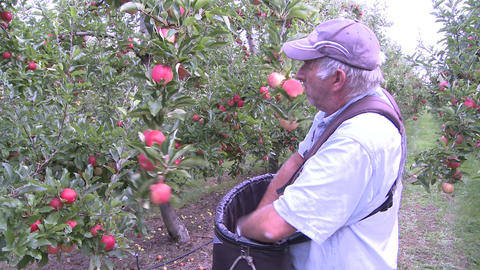 picking apples Footage