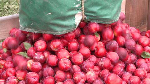 harvested plums put into a bin Live Action