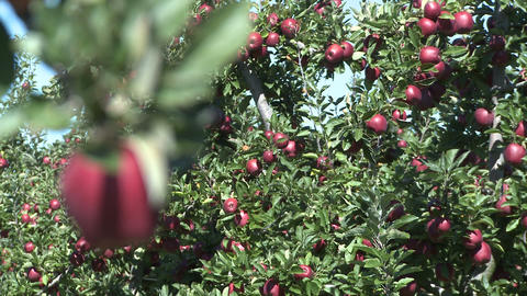 red delicious apple rack focus Stock Video Footage