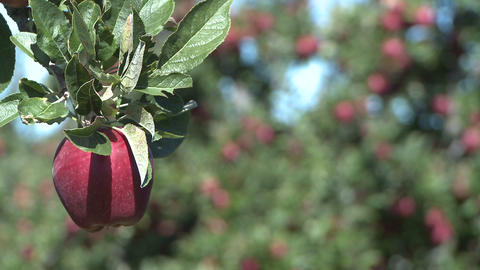 red delicious apple rack focus Footage