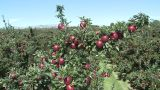 Red Delicious Crane Shot stock footage