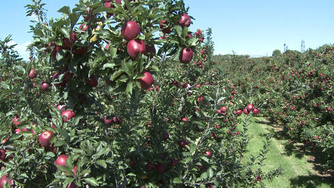 red delicious crane shot Stock Video Footage