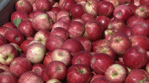 royal gala apples in a bin Stock Video Footage