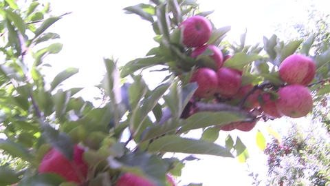 Royal Gala apples on tree Stock Video Footage